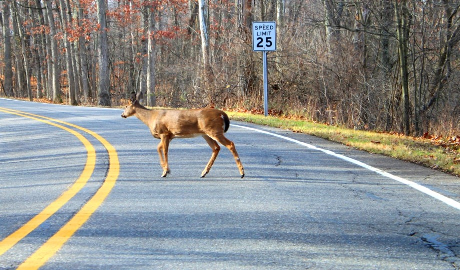 While they may look sweet, these large animals can cause major damage if they collide with your car. Here are a few questions you may have if your vehicle comes face to face with a deer. Let Breezy Point Auto Body help you.